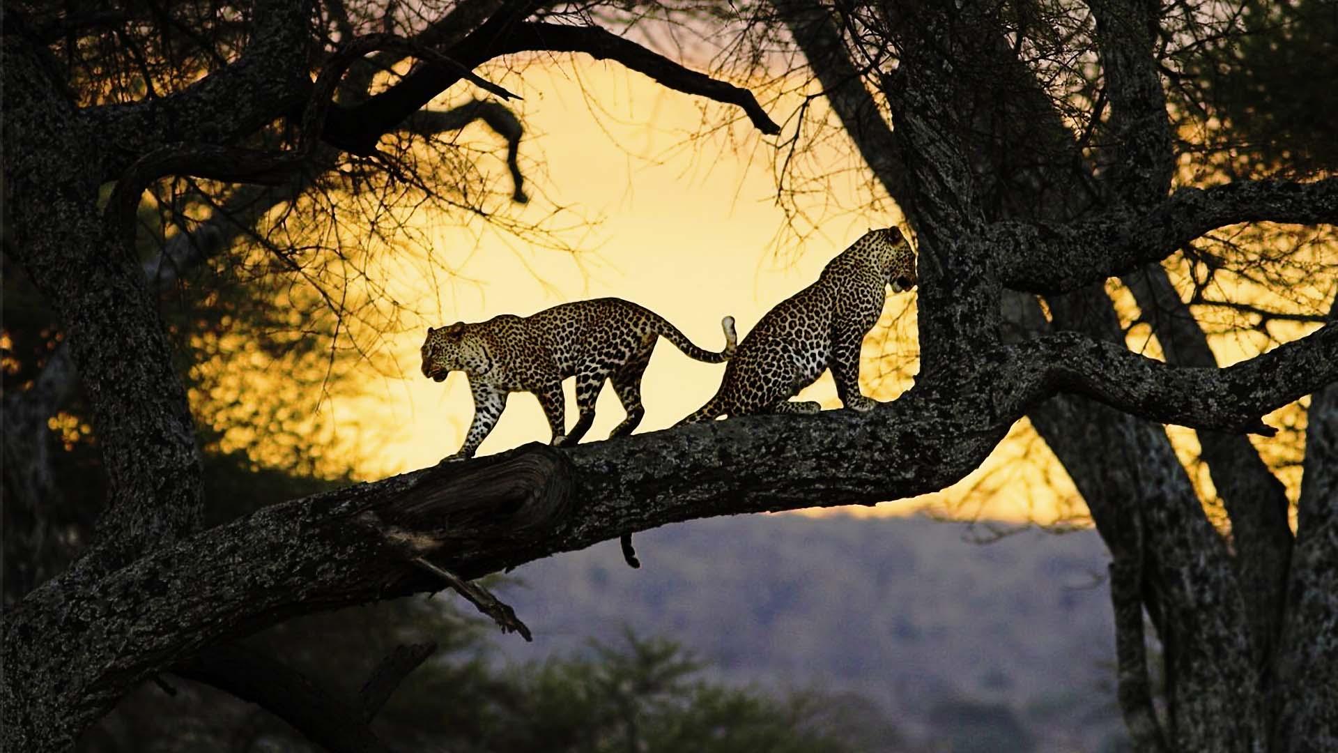 sri lankan leopards on a tree